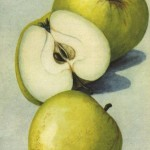 Apfel: Antonowka