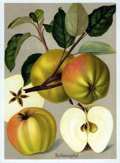 Apfel: Boikenapfel