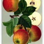 """Apfel: Goldparmäne (aus """"Deutschlands Obstsorten"""")"""