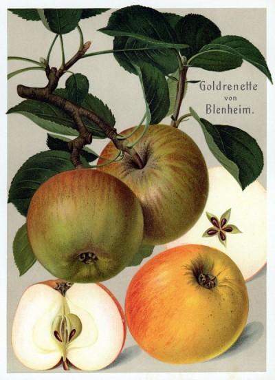 Apfel: Goldrenette von Blenheim