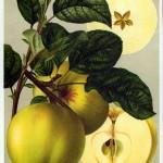 Apfel: Grahams Jubiläumsapfel