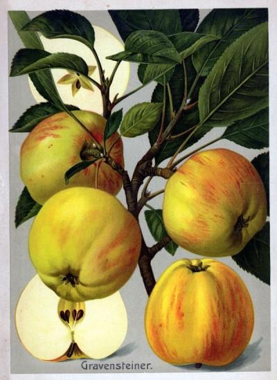 Apfel: Gravensteiner