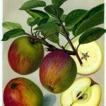 Apfel: Grosser Rheinischer Bohnapfel