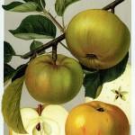 Apfel: Jakob Lebel