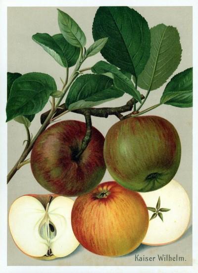 Apfel: Kaiser Wilhelm