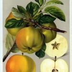 Apfel: Landsberger Renette