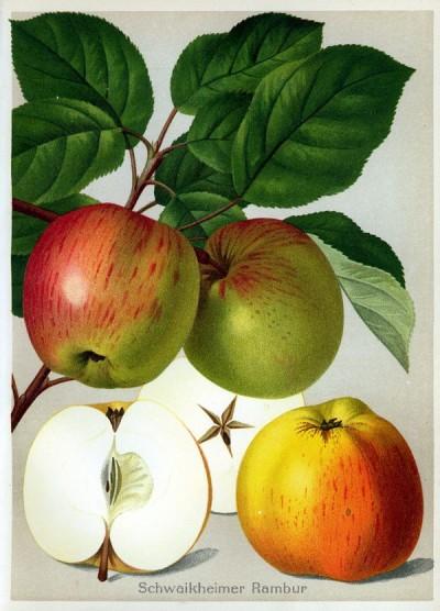 Apfel: Lohrer Rambur