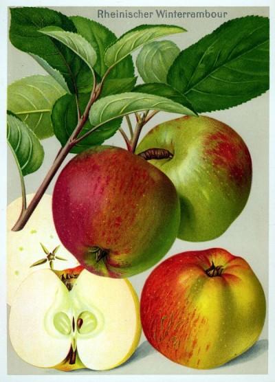 Apfel: Rheinischer Winterrambur