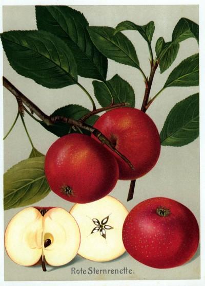 Apfel: Rote Sternrenette