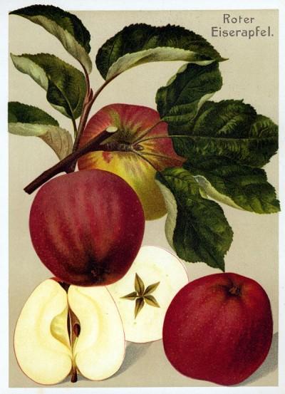 Apfel: Roter Eiserapfel
