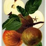 Apfel: Schoener von Boskoop