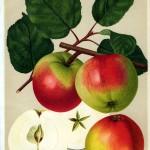 Apfel: Welschisner