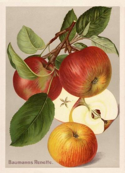 Apfel: Baumanns Renette