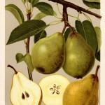 """Birne: Blumenbachs Butterbirne (aus """"Deutschlands Obstsorten"""")"""