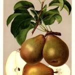 """Birne: Gellerts Butterbirne (aus """"Deutschlands Obstsorten"""")"""