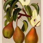 """Birne: Köstliche von Charneu (aus """"Deutschlands Obstsorten"""")"""