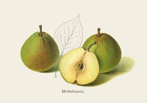 """Birne: Mollebusch (aus """"Unsere besten deutschen Obstsorten"""")"""