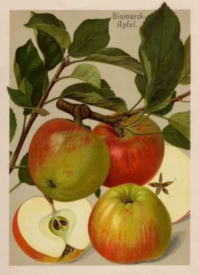 Apfel: Bismarckapfel