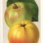 Apfel: Bittenfelder Saemling
