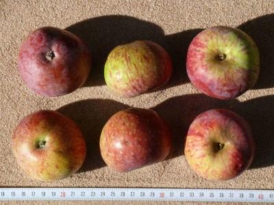 Apfel: Blauapfel