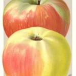 Apfel: Brettacher Sämling (Bildautor: Gustaf Schaal, 1930)