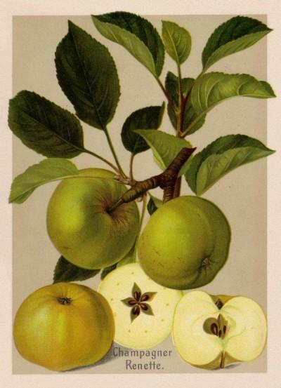 Apfel: Champagner Renette