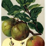 Apfel: Coulons Renette