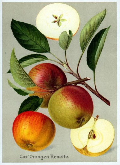 Apfel: Cox' Orangenrenette
