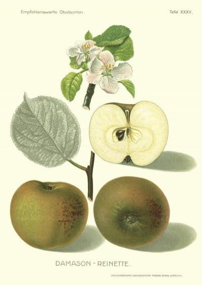 Apfel: Damasonrenette