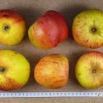 Apfel: Eifeler Rambur