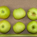 Apfel: Galloway Pepping