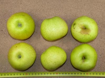 Apfel: Galloway Pepping
