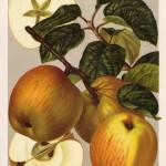 Apfel: Geflammter Kardinal