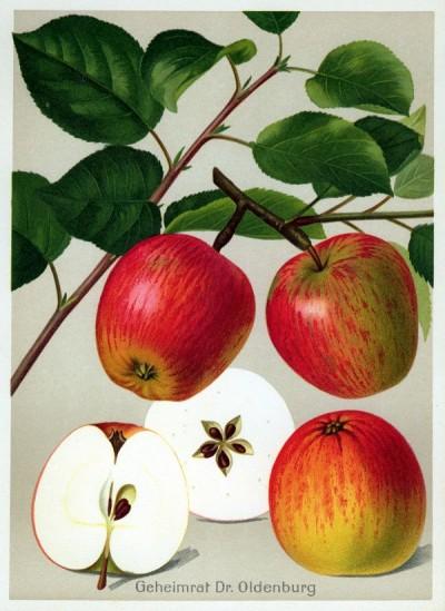 Apfel: Geheimrat Dr. Oldenburg