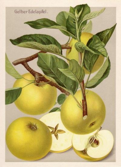 Apfel: Gelber Edelapfel