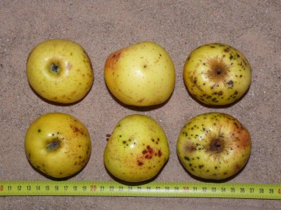 Apfel: Pomme d'Or