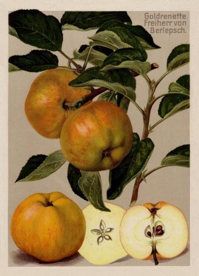 Apfel: Goldrenette Freiherr von Berlepsch
