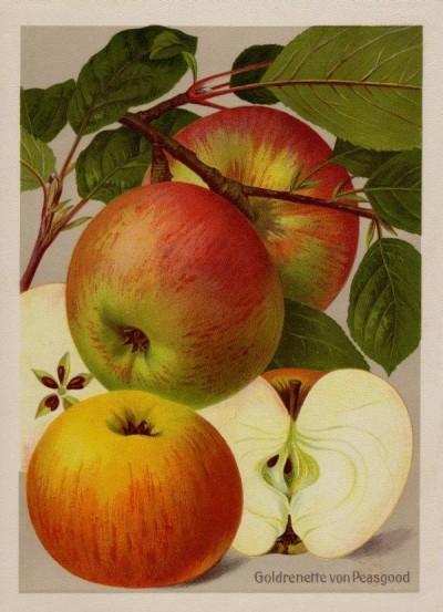 Apfel: Goldrenette von Peasgood