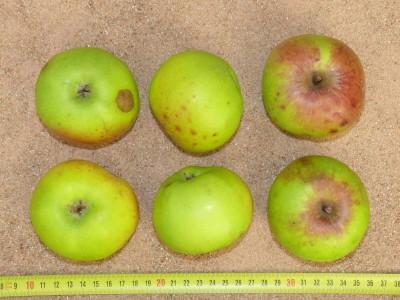 Apfel: Grüner Stettiner