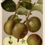 Apfel: Graue Herbstrenette