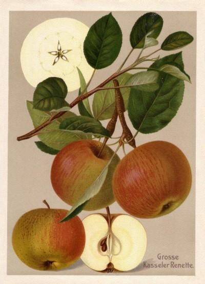 Apfel: Große Kasseler Renette