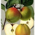Apfel: Harberts Renette