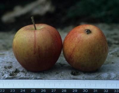 Apfel: Hirschknäckerle