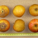 Apfel: Holsteiner Cox