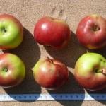 Apfel: Idared