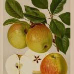 Apfel: James Grieve