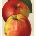 Apfel: Jonathan