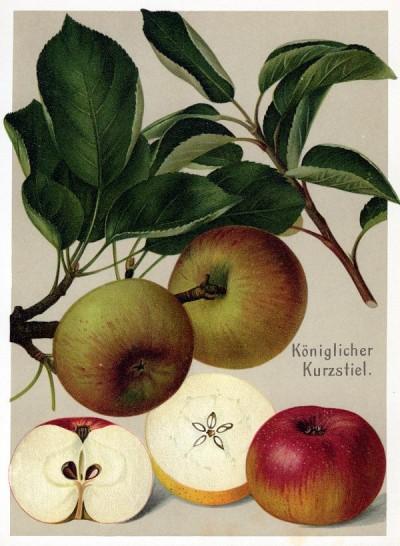 Apfel: Königlicher Kurzstiel