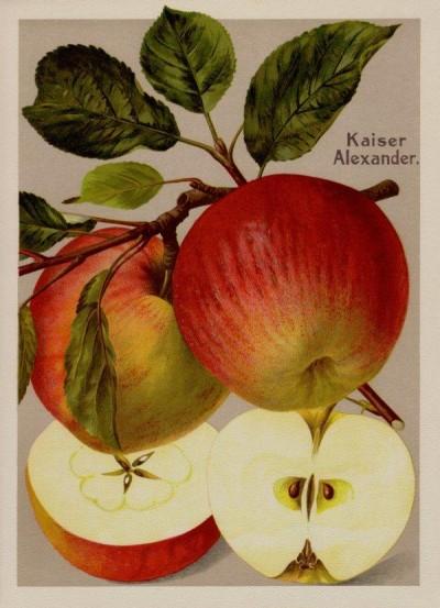 Apfel: Kaiser Alexander