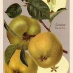 Apfel: Kanada Renette
